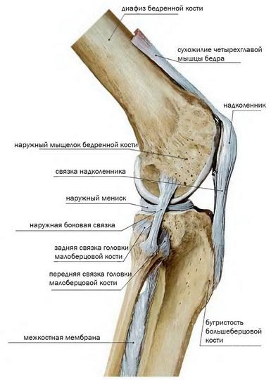 Анатомия коленного сустава: устройство суставов, связок, сумок, надколенника