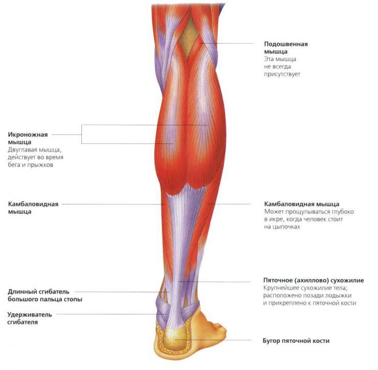 Анатомия голени человека