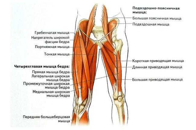 Мышцы бедра