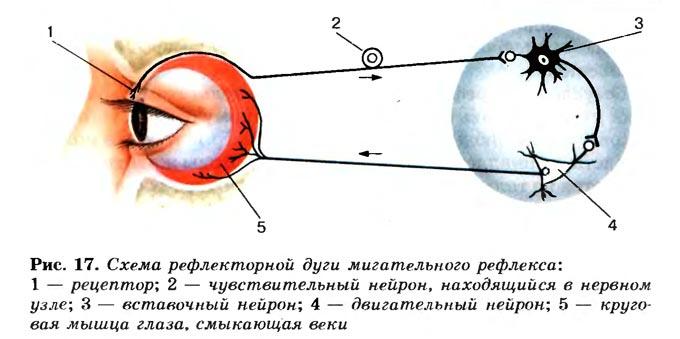 рефлекторная дуга глаза