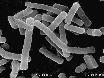 lactobacterii