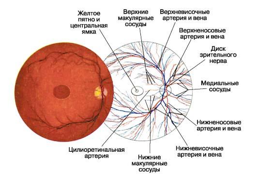 строение глазного дна