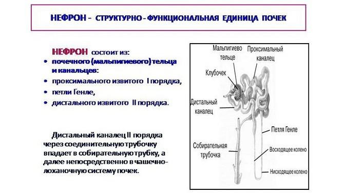 Механизм образования мочи у человека: этапы, особенности, возможные отклонения