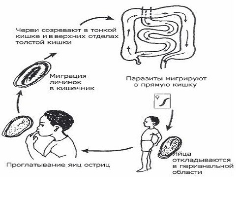 enterobioz-sxema
