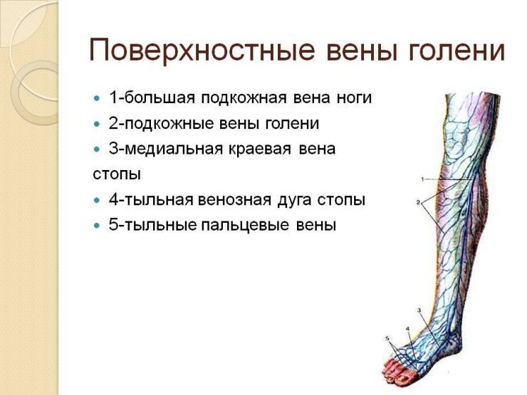Анатомия вен нижних конечностей