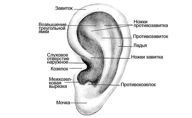 Анатомические части ушной раковины