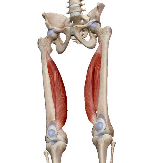 Анатомия мышц бедра